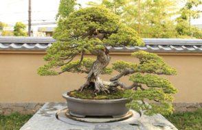 outdoor-bonsai-tree-care